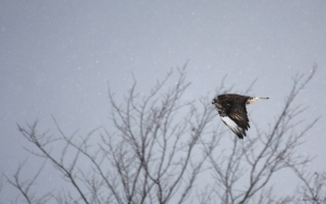 Rough-legged hawk light morph