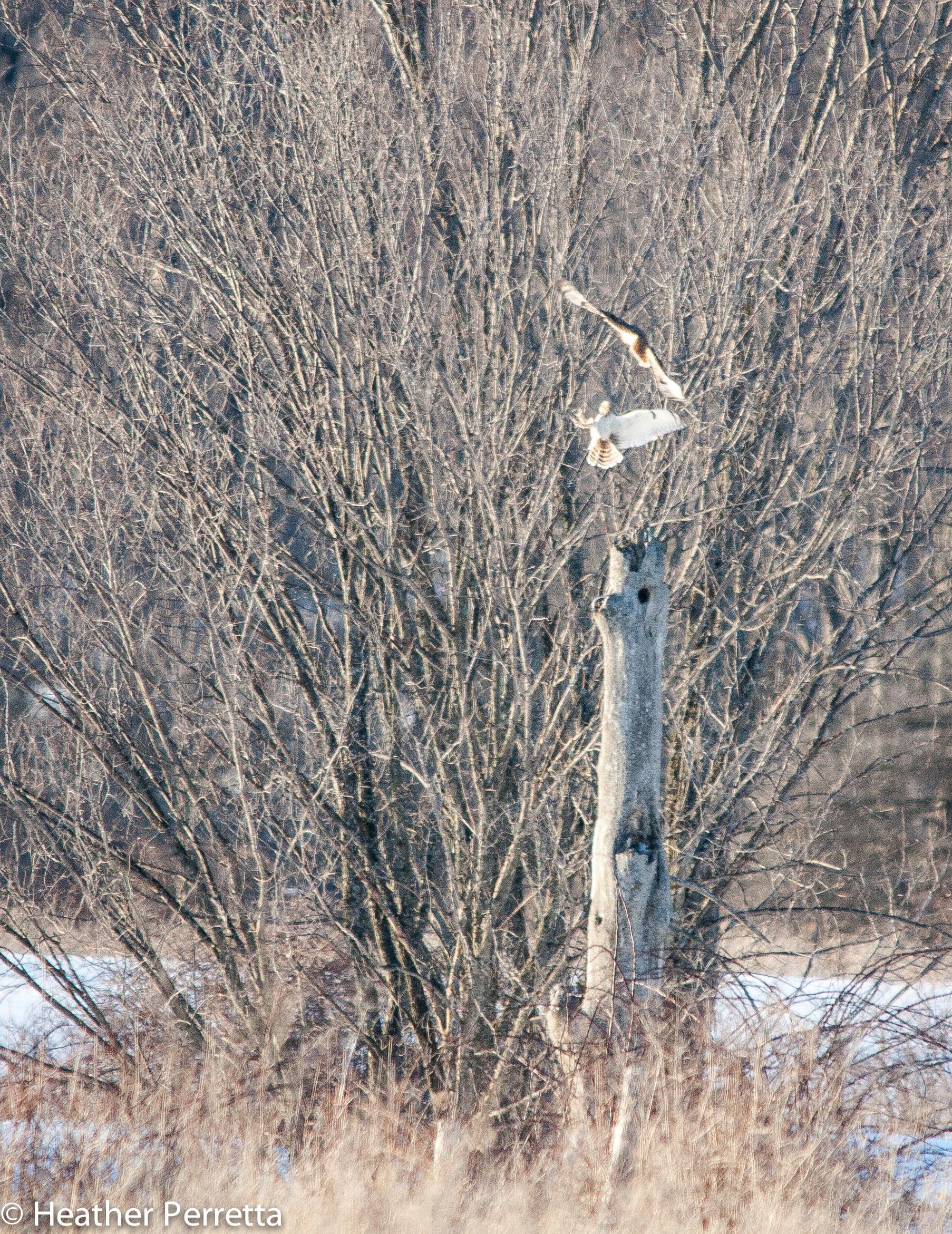 short eared owl the backyard naturalist