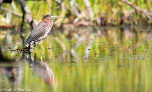 20140724GreenHeron-06