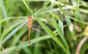 20140730Dragonfly-sp?-02