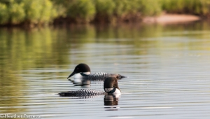 Common Loon Pair